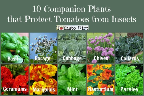 10 companion plants that protect tomatoes from insects from Tomato Dirt