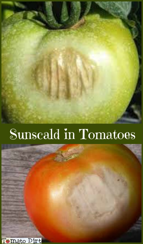 Tomato sunscald with Tomato Dirt