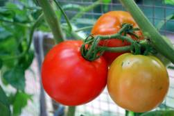 Better Boy Tomatoes in Pots with Tomato Dirt