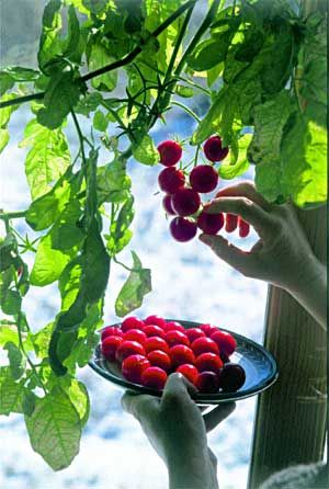 Grow indoor tomatoes: image from Mother Earth News via Tomato Dirt