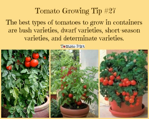 Tomato Growing Tip #27: best tomato varieties to grow in small containers. #GrowingTomatoes with Tomato Dirt