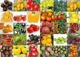 Many different types of tomatoes with Tomato Dirt