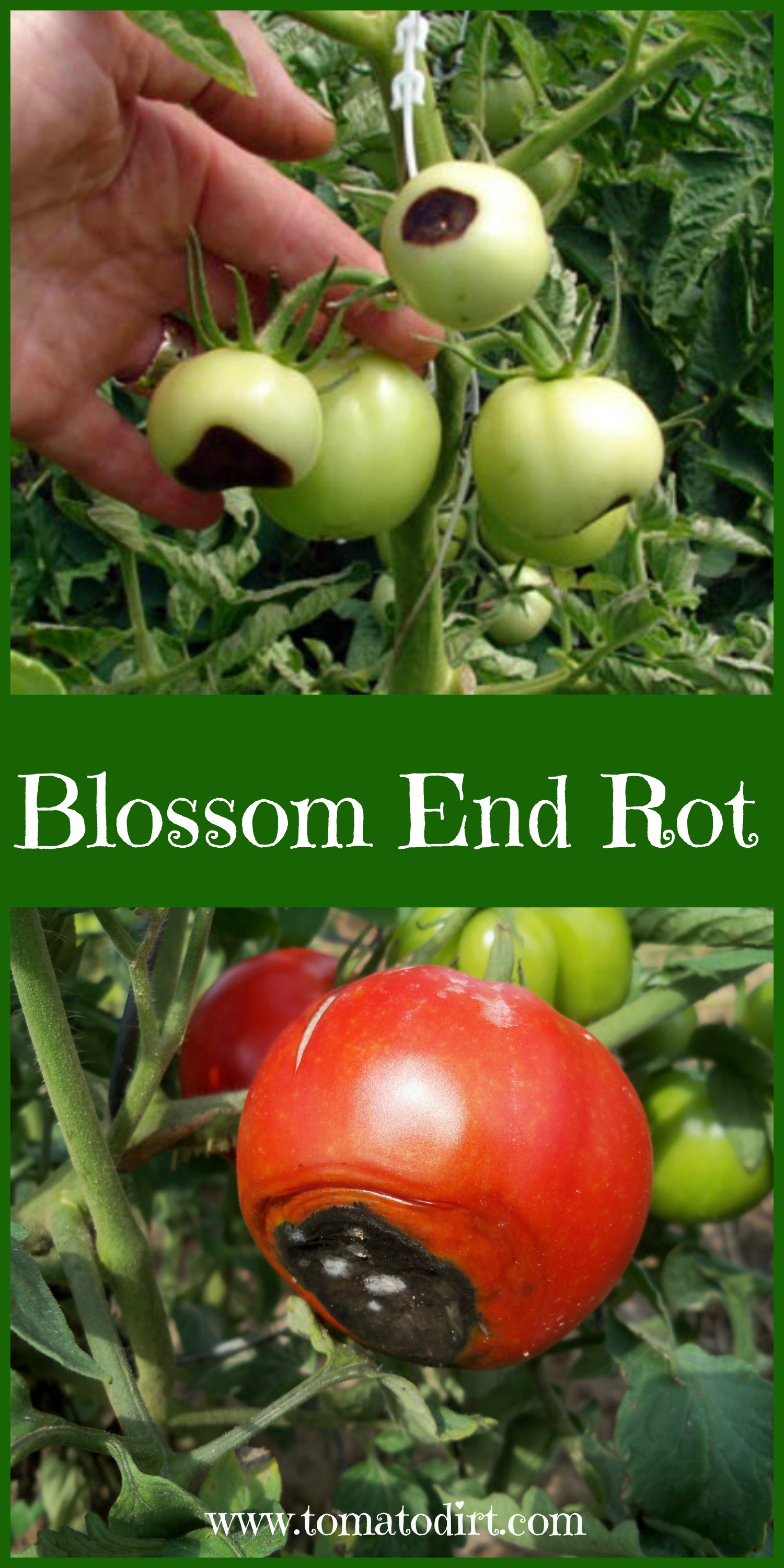 Blossom End Rot with Tomato Dirt