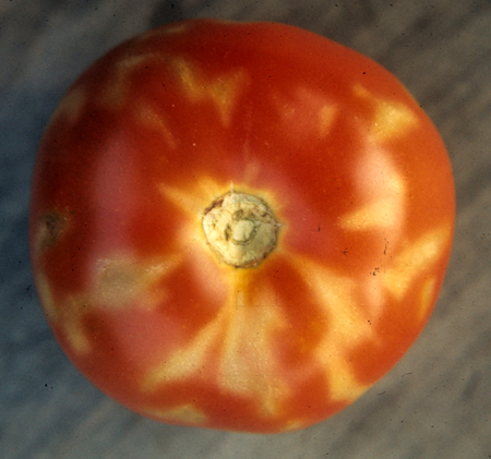 Gray Wall in tomatoes courtesy of UMass via Tomato Dirt