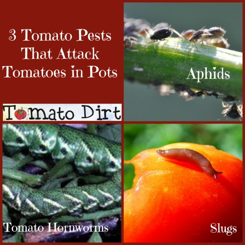 3 tomato pests that attack tomatoes in pots with Tomato Dirt
