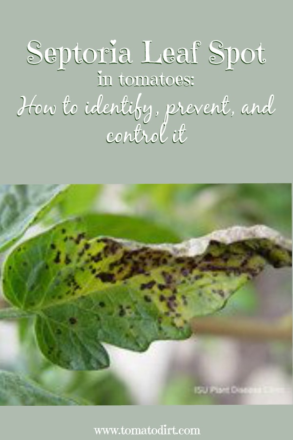 Septoria leaf spot in tomatoes: how to identify, prevent, and control it with Tomato Dirt #GrowTomatoes #TomatoProblems