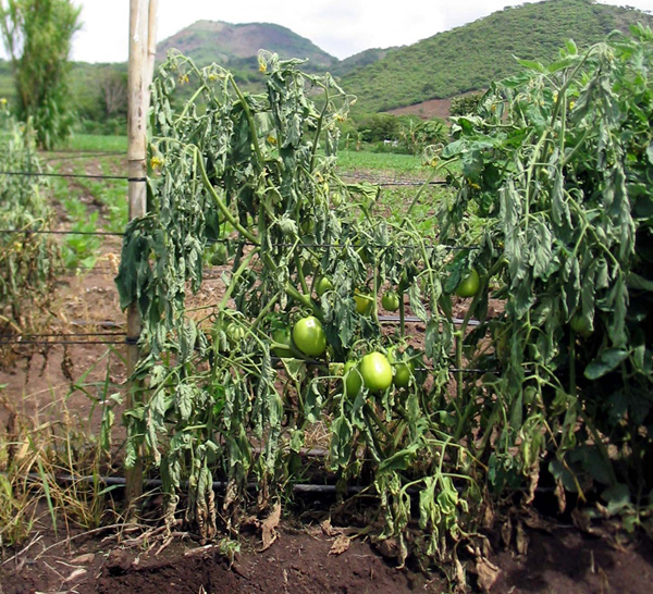 Bacterial wilt on tomatoes - image from University of Wisconsin via Tomato Dirt