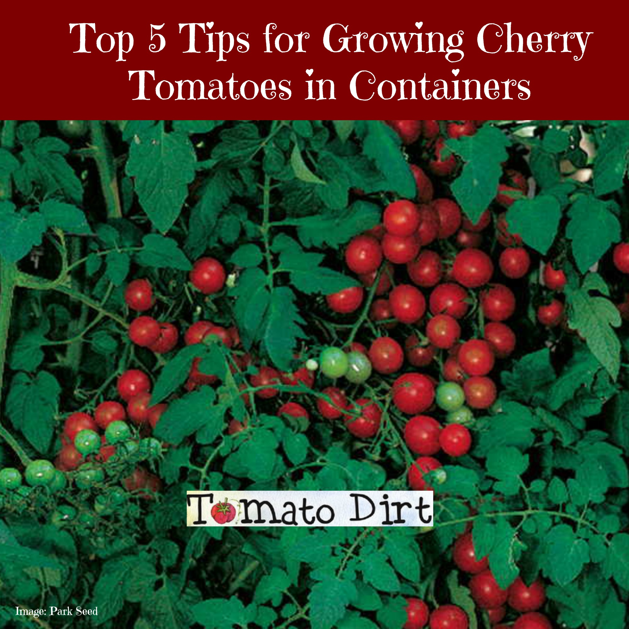 5 Tips for Growing Cherry Tomatoes in Containers