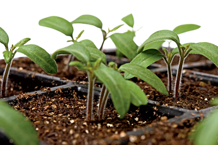 Tomato seedlings with Tomato Dirt