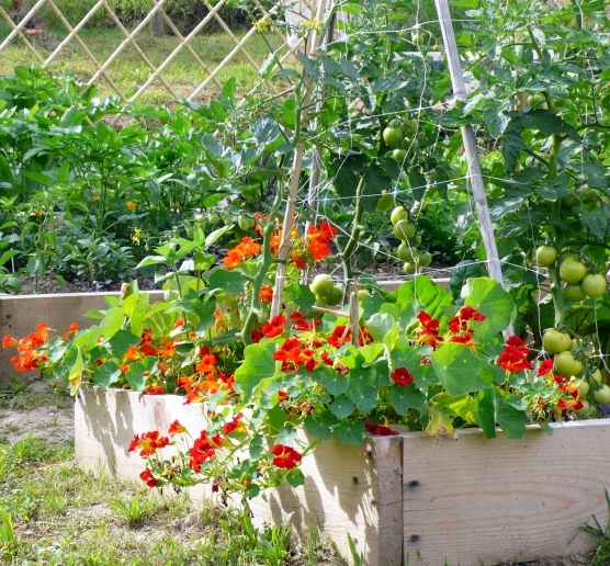 Companion plants for tomatoes: tomato and nasturtium with Tomato Dirt