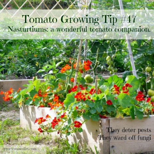 Companion plants for tomatoes: tomato and nasturtium with Tomato Dirt. #GrowingTomatoes