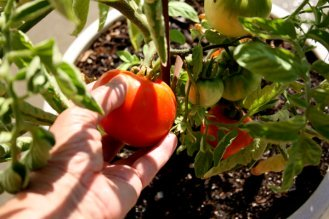 Picking tomatoes with Tomato Dirt