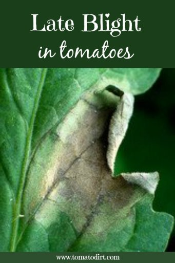 Late blight in tomatoes: how to identify, prevent, and control it with Tomato Dirt #GrowTomatoes #TomatoDiseases