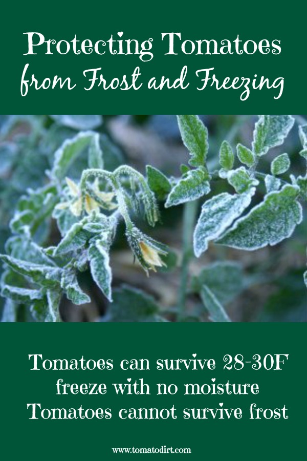 Protecting tomatoes from frost and freezing with Tomato Dirt. Helpful tomato growing tips.