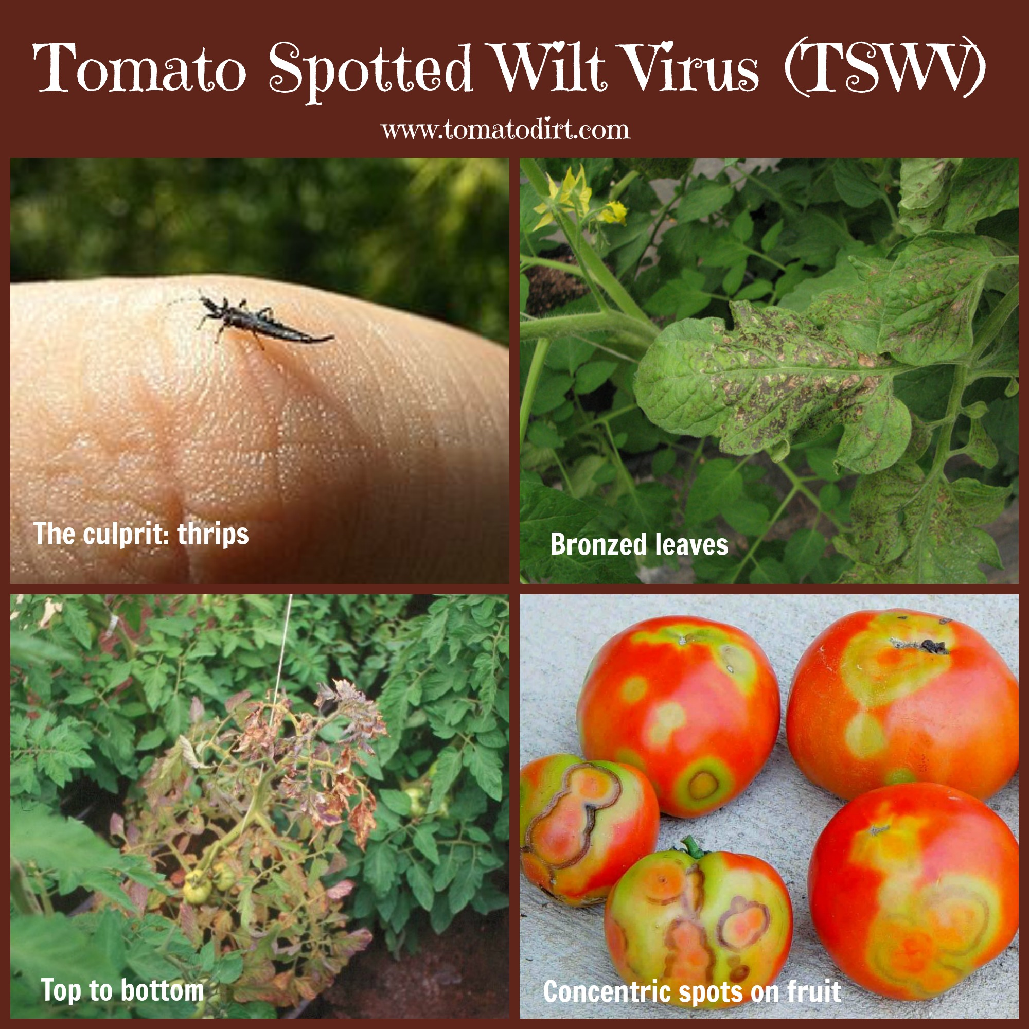 Tomato Spotted Wilt Virus (TSWV): how to identify, control, and prevent it with Tomato Dirt