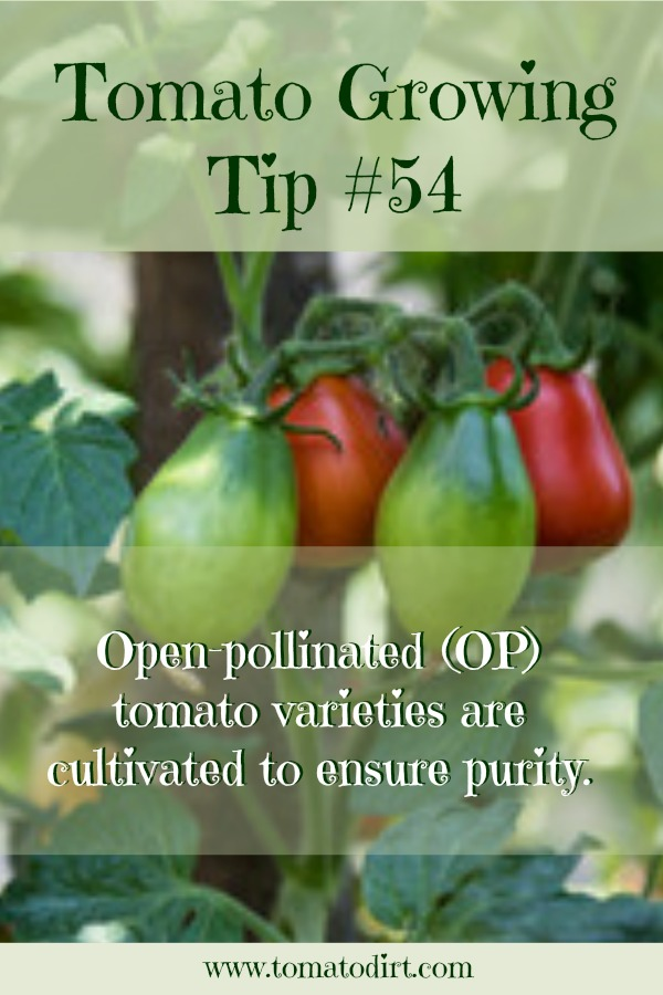 Tomato Growing Tip #54: what tomato seeds to save with Tomato Dirt #TomatoGrowingTips