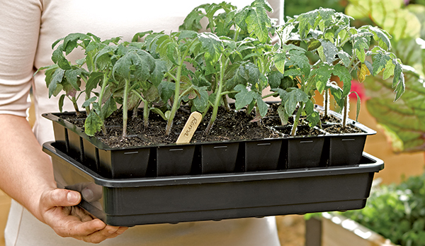 Germinate seeds to get a head start on growing tomato seedlings with Tomato Dirt
