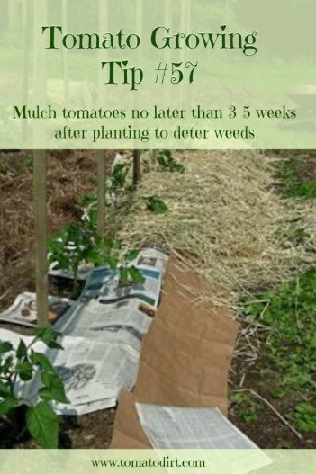 Tomato Growing Tip #57: mulch tomatoes no later than 3-5 weeks after planting to prevent weeds. With Tomato Dirt #growtomatoes