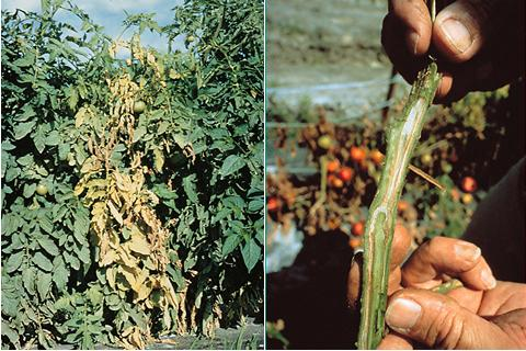 Fusarium wilt on tomatoes by American Phytopathological Society via Tomato Dirt