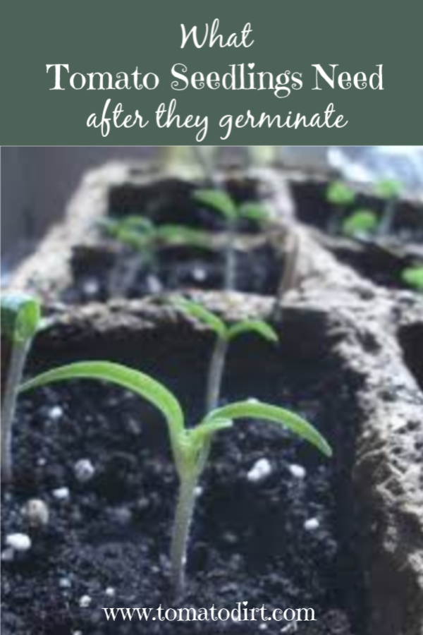 What tomato seedlings need after they germinate to flourish with Tomato Dirt #GrowingTomatoes #HomeGardening