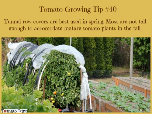 Tomato Growing Tip #40: tunnel row covers are best used in spring to protect tomato plants before they get too large. With Tomato Dirt.