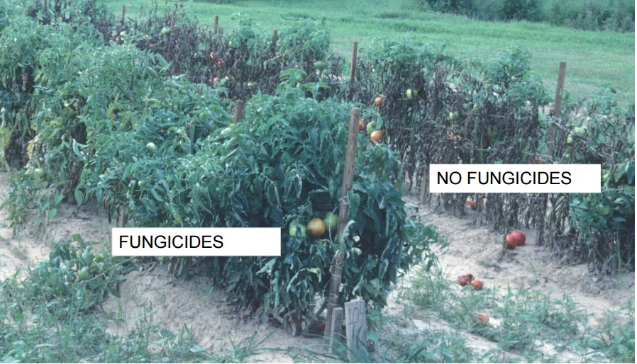 Comparison of tomatoes treated with fungicide and those not treated with fungicide by Edward Sikora, Auburn University Extension via Tomato Dirt