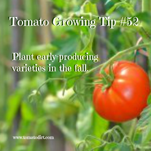 Second season tomato varieties (fall varieties) to grow. Tomato Growing Tip #52 with Tomato Dirt #GrowingTomatoes