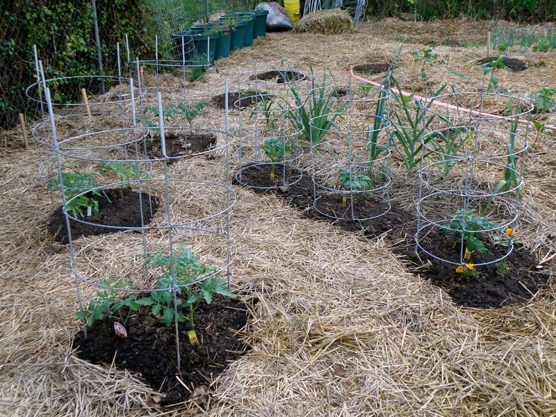 Tomatoes in straw with Tomato Dirt