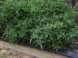 Black plastic mulch around tomato plants courtesy Colorado State University via Tomato Dirt