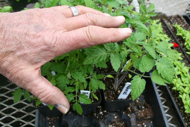 Brushing tomato seedlings with Tomato Dirt