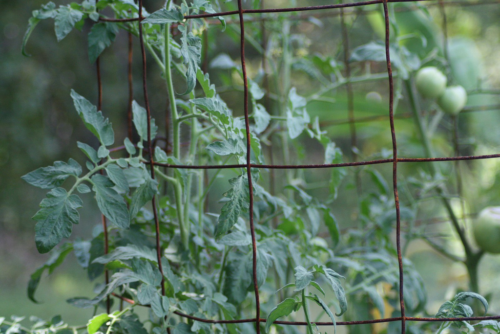 Building tomato cages with Tomato Dirt