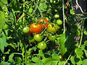 Second season tomatoes with Tomato Dirt