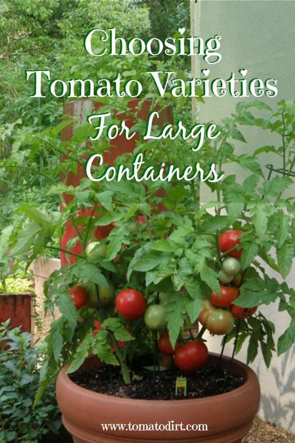 Choosing tomato varieties for large containers. #GrowingTomatoes with Tomato Dirt