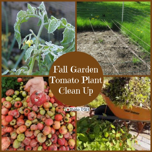 fall garden tomato plant clean up with tomato dirt - Fall Garden Plant