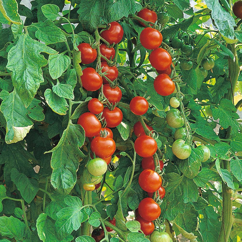 grow to gardening growing how tomato plants garden dengarden