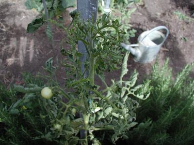 Tomato plant growing tip distorted