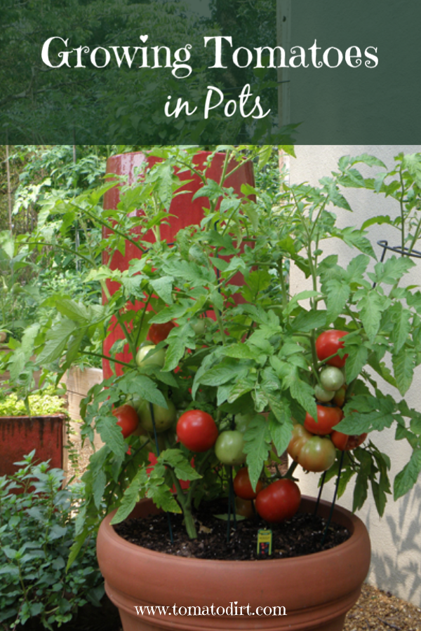 Growing Tomatoes In Pots What You Need To Know To Grow Patio Tomatoes