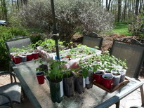 Tomato seedlings hardening off outside under picnic umbrella
