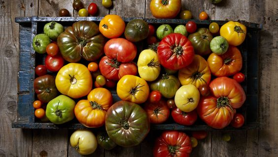 Harvesting tomatoes, when to pick tomatoes