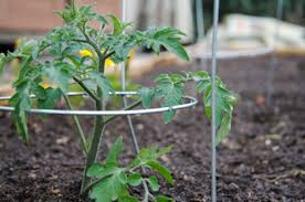 germinate seeds for tomato seedlings