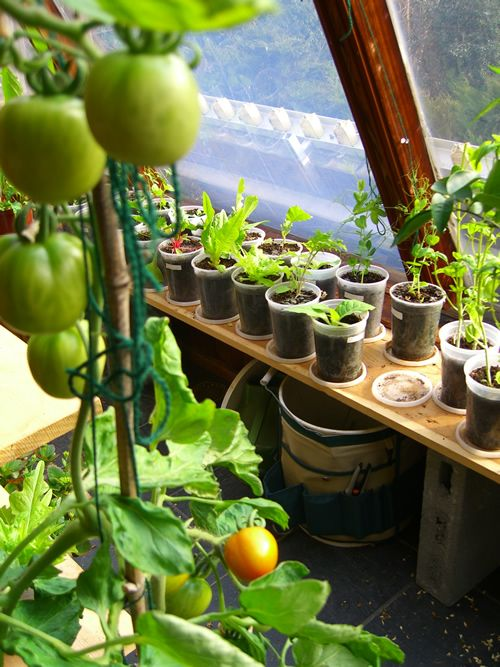 Growing indoor tomatoes faqs frequently asked questions for Indoor vegetable gardening tips