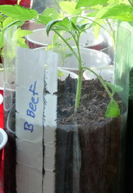 tomato seedling in soda bottle labeled with marker