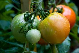 Extend harvest of tomatoes with Tomato Dirt