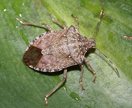 Stink bugs with Tomato Dirt