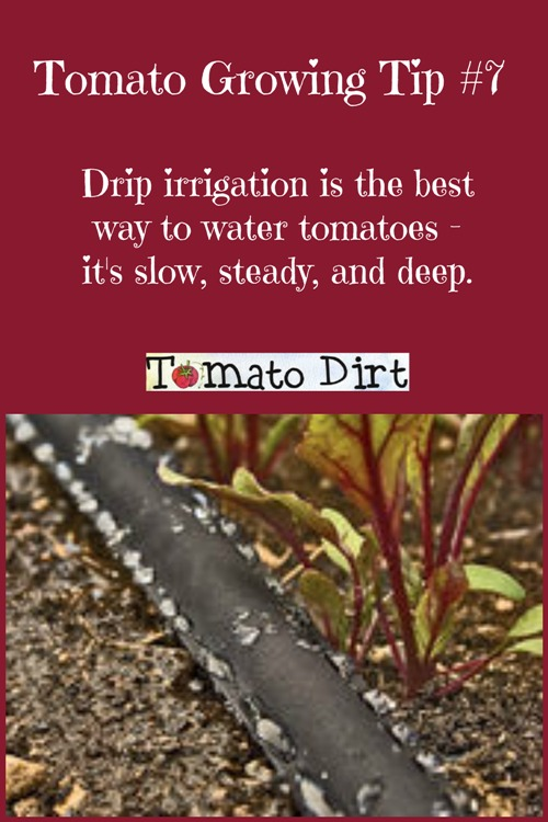 Tomato Growing Tip #7: Drip irrigation is the best way to water tomatoes. With Tomato Dirt #WateringTomatoes #GrowingTomatoes