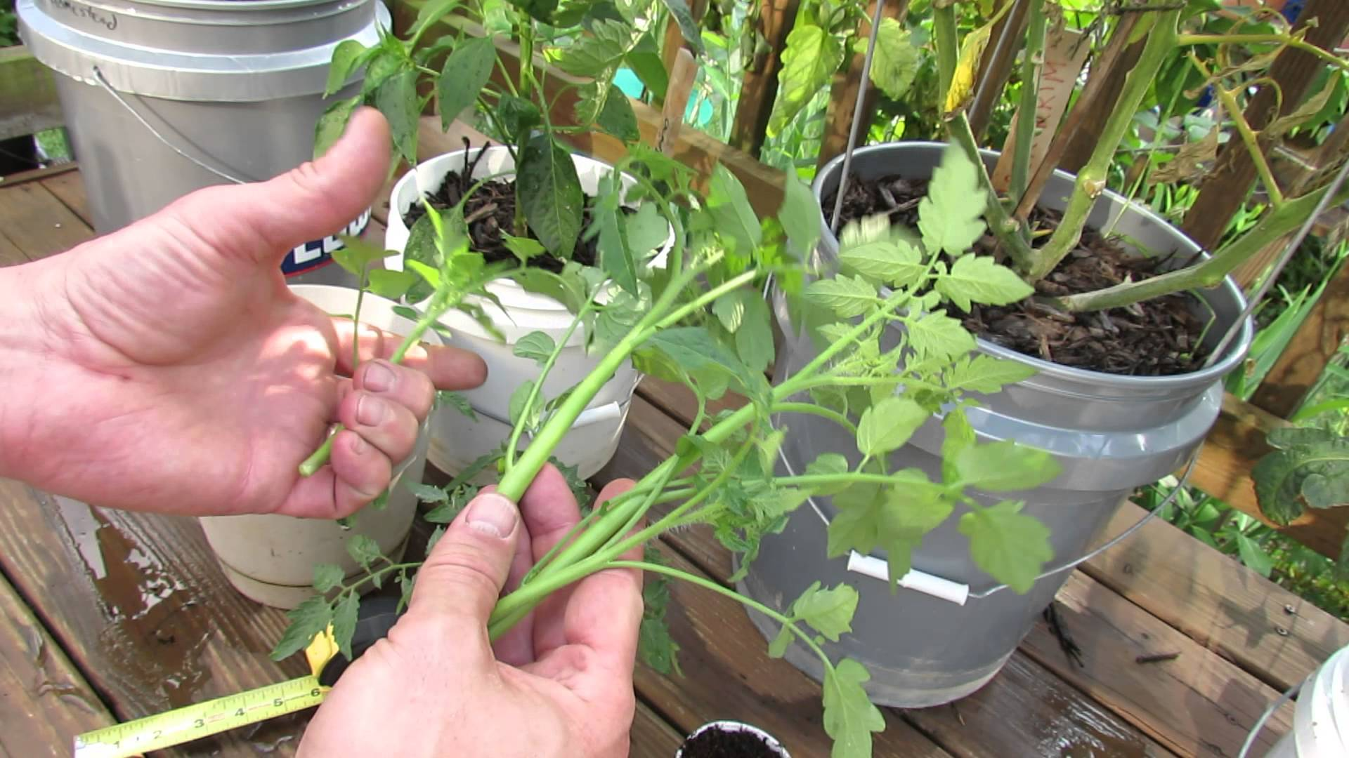 Tomato cuttings with Tomato Dirt