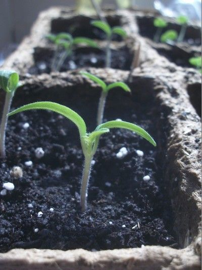 Tomato seedlings from Gardening Know How