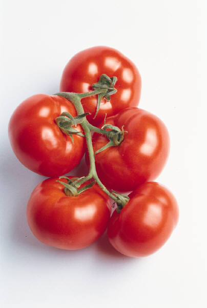 Tips for growing fall tomatoes with Tomato Dirt