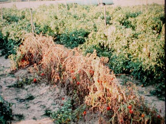Verticillium wilt on tomatoes courtesy Missouri Botanical Gardens via Tomato Dirt