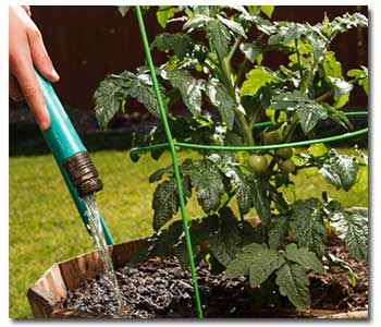 Watering tomatoes from Grangetto's with Tomato Dirt